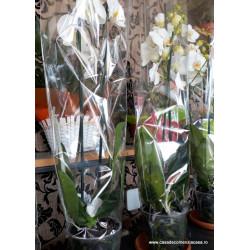 Orhidee Phalaenopsis...